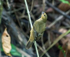 Chestnut-bellied Seedeater - (Sporophila castaneiventris), female. Photo by Nick Athanas.