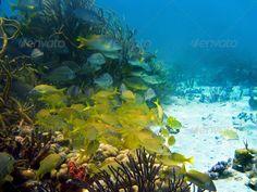 DOWNLOAD :: https://sourcecodes.pro/article-itmid-1003527070i.html ... Underwater life ...  blue, bocas del toro, caribbean, coral, dive, diving, fish, life, marine, ocean, panama, reef, school, scuba, sea, seascape, snapper, snorkeling, underwater, yellow  ... Templates, Textures, Stock Photography, Creative Design, Infographics, Vectors, Print, Webdesign, Web Elements, Graphics, Wordpress Themes, eCommerce ... DOWNLOAD :: https://sourcecodes.pro/article-itmid-1003527070i.html