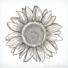 Hand Drawn Realistic Vintage Sunflower Pen And Ink Drawing On