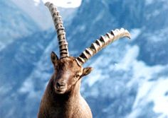About the geography of the Swiss Alps, the weather, climate and climate change. Swiss Alps, Capricorn, Climate Change, Switzerland, Sheep, Giraffe, Around The Worlds, Nature, Fun Loving