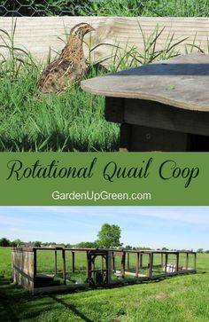 Raise quail naturally on the ground using a rotational quail coop. Learn more how this easy to use run works. Raise quail naturally on the Backyard Poultry, Backyard Chicken Coops, Diy Chicken Coop, Chickens Backyard, Quail Pen, Quail Coop, Raising Quail, Raising Chickens, Types Of Chickens