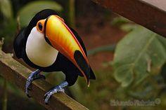 Toco Toucan / Tucano-toco (Ramphastos toco) | Flickr - Photo Sharing!