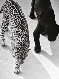Leopards and cheetahs and cougars oh my! Gray Aesthetic, Black Aesthetic Wallpaper, Black And White Aesthetic, Spring Aesthetic, Black And White Picture Wall, Black And White Pictures, Animals Beautiful, Cute Animals, Beautiful Creatures