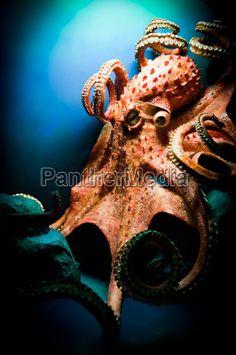Image no - 3958541 - Octopus