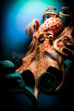 Image no - 3958541 - Octopus
