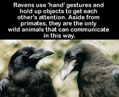 At least, proven to be the only animals that communicate in such a way.