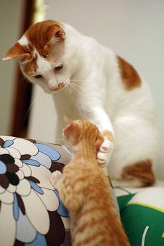 cat touches rescue foster ginger kitten's face