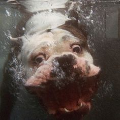 Funniest bull dog you've ever seen!!!