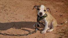 Plus de 350 chiens de combat ont été secourus au terme de l'une des plus importantes descentes de police de l'Histoire. Ces mauvais traitements effroyables concernaient des animaux de Georgie, d'Alabama et du Mississippi aux USA. Un simple coup d'oeil à ces photos suffit pour comprendre à quel point ces animaux étaient maltraités. Timmy était …