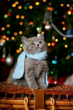 We're ready to start the countdown and ring in and some of our feline friends are joining the fun. I Love Cats, Cute Cats, Funny Cats, Christmas Animals, Christmas Cats, Father Christmas, Christmas Lights, Christmas Time, Merry Christmas