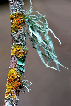 Multi-colored lichen