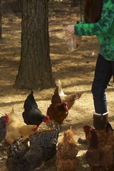 Feeding Chickens Table Scraps: How to Raise Chickens...feeding table scraps is a treat for the chickens as well as giving them extra nourishment.