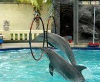 Close the Dolphin Resort Hotel in Bali. http://www.thepetitionsite.com/989/113/176/close-the-dolphin-resort-hotel-in-bali/ @sea Shepherd Conservation Society #defendconserveprotect