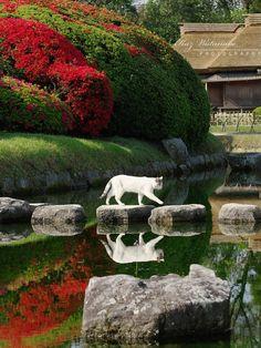 A white cat strolling through Okayama Korakuen Garden, Japan. So tranquil! (photo by Kaz Watanabe)
