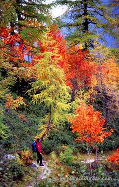 Walker beneath autumn trees, Chamonix Valley, French Alps, France. Stock Photo