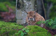 Lynx lynx - sleeping lynx                                                                                                                                                      More