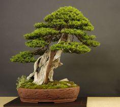 Japanese Yew (Best Conifer)