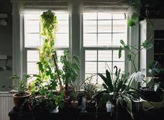 Hoya Plant Care - How to Grow a Hoya Plant - Pistils Nursery