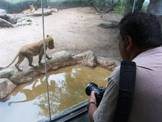 Periodistas captan instantáneas de los animales, aquí uno que observa bajo su lente a la leona en juego.