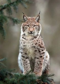 Lynx. Love those ear tufts.