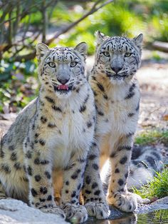 Two snow leopards at the pond