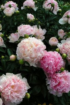 peonies- via blossoms & bliss ... I can't wait to start planting flowers and veggies!