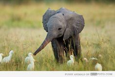 Baby elephant playing with cranes - Cute and funny baby elephant playing with white birds, probably cranes.