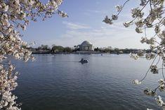 Cherry Blossoms - Tidal Basin