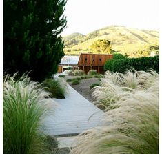 Nassella tenuissima or Mexican feather frass. Modern landscape by Blasen Landscape Architecture Coastal Landscaping, Modern Landscaping, Front Yard Landscaping, Landscaping Design, Coastal Gardens, Beach Gardens, Outdoor Gardens, Modern Landscape Design, House Landscape