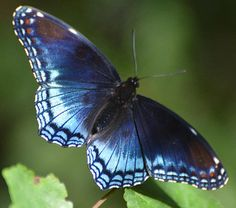 Red Spotted Purple -  Limenitis Arthemis By Dennis Durette