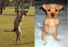 The Bipedal Dog Faith Stringfellow was born just before Christmas in 2002 in King of  Prussia, Pennsylvania. She only had three legs. Her single front leg  was deformed. he leg was amputated after it began to atrophy when  Faith was seven months old. He owners then taught her how to stand on  her rear legs, then hop, and finally to walk upright! Faith is now a  therapy dog and makes public appearance to encourage others to live to  their full potential.