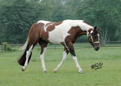 Hes Got The Assets.  APHA Stallion.
