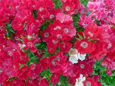 Dianthus:石竹
