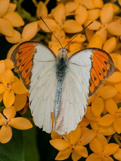 Great Orange Tip (Hebomoia glaucippe). by craigpjohnson, via Flickr