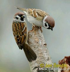 Photo of vrabec polní, Passer montanus, Tree Sparrow, Feld Sperling - should paint a picture of these interesting little birds Small Birds, Little Birds, Pet Birds, Bird Pictures, Beautiful Birds, Animals Beautiful, Animals And Pets, Cute Animals, Owls