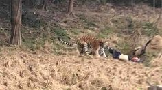 Video: Tigre mata a hombre en zoológico de China | El Puntero