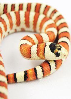 Arizona mountain king snake - Julian Rossi