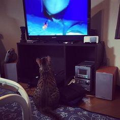 ジヨンくん、ファインディングニモを狙ってるwww 捕まえても食べれないよ〜  #猫 #cat #ベンガル猫 #ジヨンくん #bigbang #gdragon #寝てる時は天使 #ねこ #ねこ部 #愛猫 #愛猫同好会 #ベンガル #呼ぶ時はジー #ファインディングニモ #ドリー #マーリン #ニモ