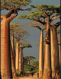 Les plus belles forets du monde Madagascar