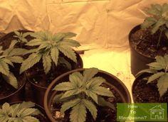 3-4 Weeks old Marijuana Plants