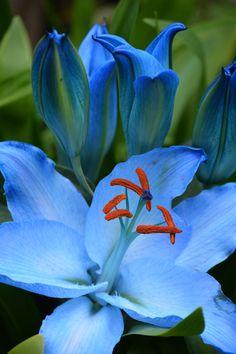 Blue Lillies by Elaine Williams**