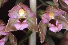 Epipactis helleborine subsp. helleborine - From Stuttgart, Germany