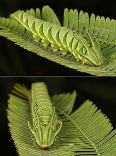dragonhead caterpillar Aliens, Beautiful Bugs, Chameleon, Macro Photography, Caterpillar, Plant Leaves, Amazing, Concept Board, Slug