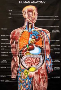 Circulatory system, Human anatomy and physiology and Anatomy and ...