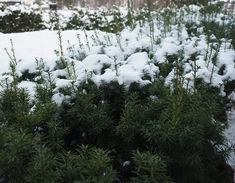 16 vårblomster å sette ut i krukker nå. Frost, Plants, Outdoor, Angel Wings, Outdoors, Plant, Outdoor Games, The Great Outdoors, Planets