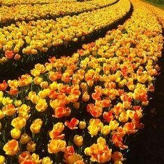 #keukenhof #keukenhofgardens #tulips #tulip #goodmorning #goodmorningpost #goedemorgen #instadaily #instafollow #flower #flowers #yellowtulips #tulipfields #tulipseason #picoftheday #holland #nederland #netherlands #amsterdam #beauty #nature #flowermagic #tulipslove by flowersdailyinsta
