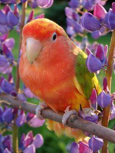 Cinnamon factored Pied Lovebird Shasta (by sylvia1sam)