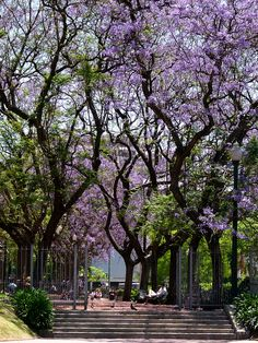 702e3b00fa Buenos Aires Ipê Roxo by Alessandra.A., via Flickr Tropical Garden, Palermo