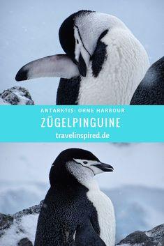 Antarktis: Zügelpinguine in Orne Harbour Wale, World Pictures, Safari, November, Wildlife, Hotels, Travel, Animals, Arctic Fox