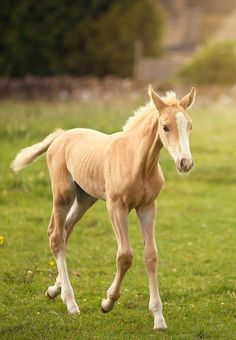 Palominos by sisters Sasha and Olivia Bell Equine Photography, Palomino, Beautiful Horses, Adorable Animals, Ponies, Farm Animals, Art Reference, Sisters, Passion